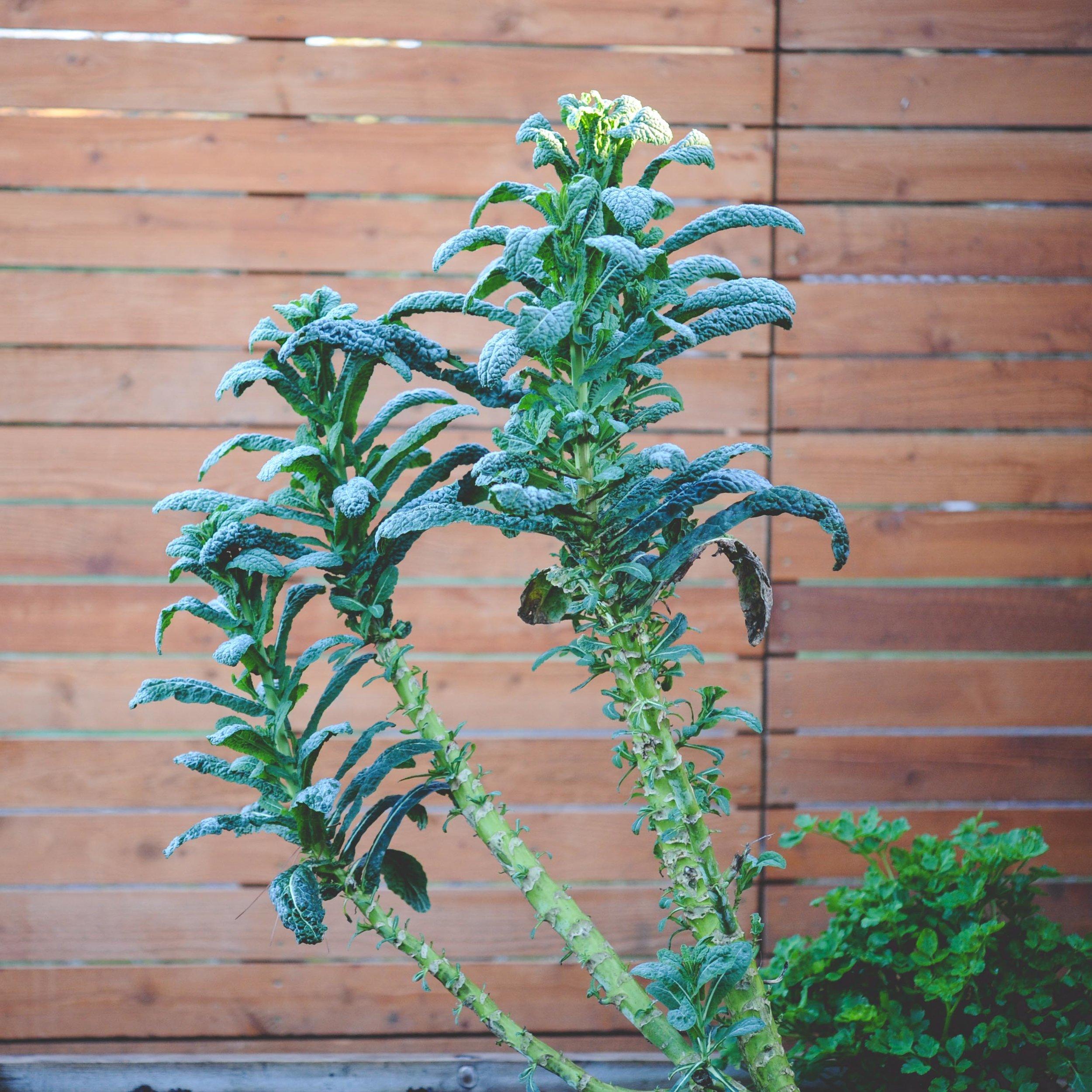 Kale trees!!