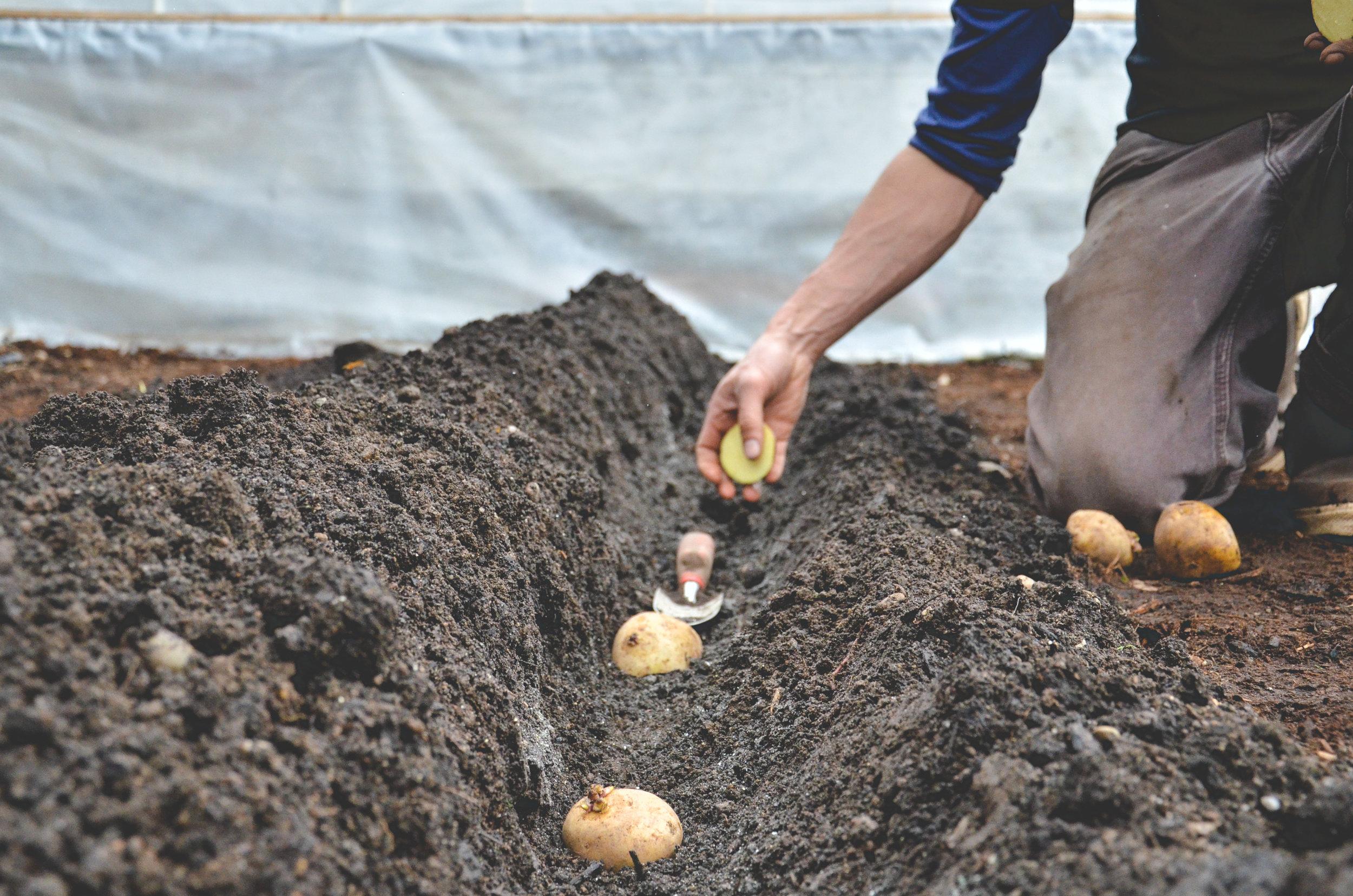 Planting Potatoes_Seattle Urban Farm Co.