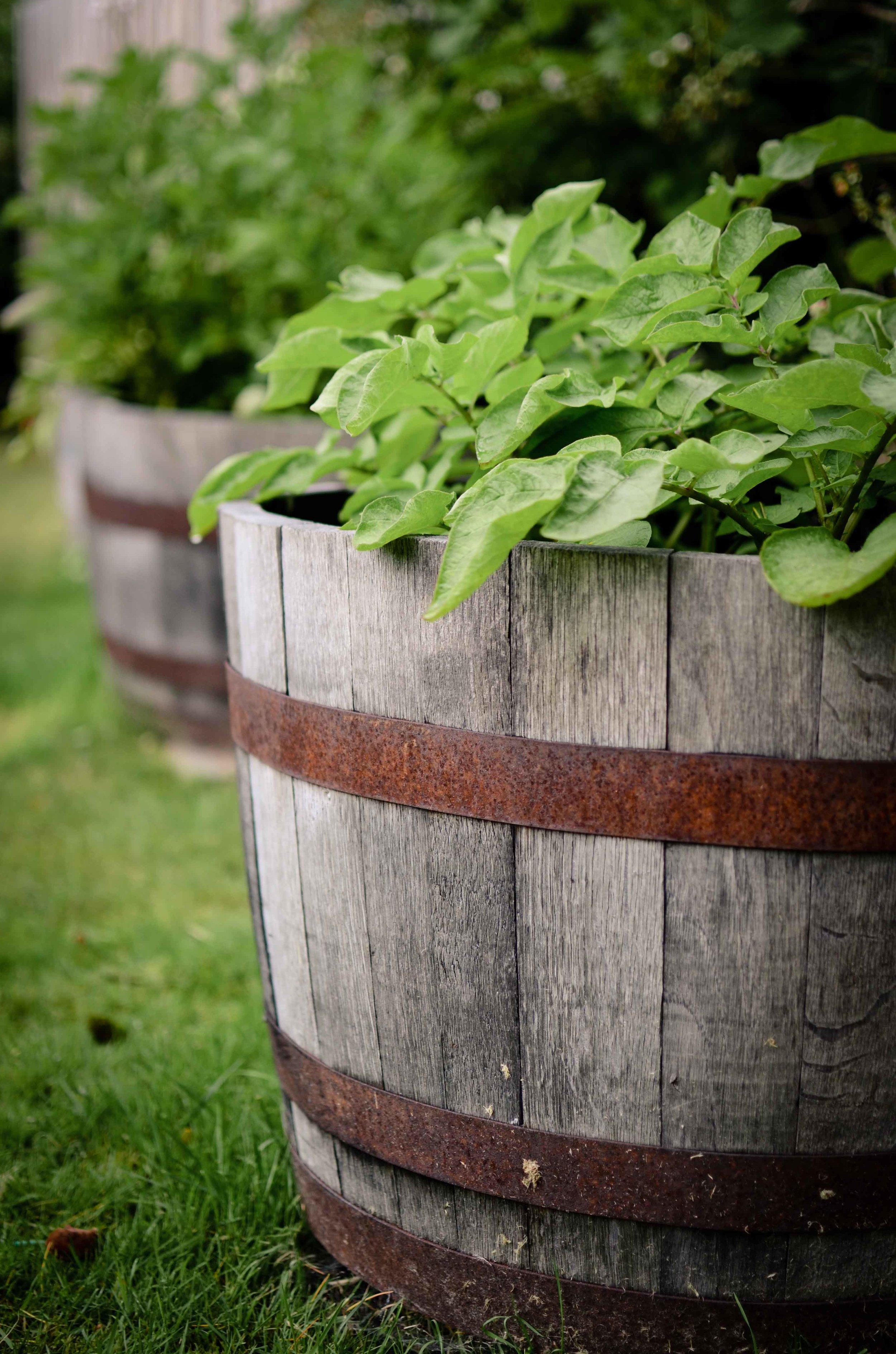 Potatoes in Wine Barrel.jpg