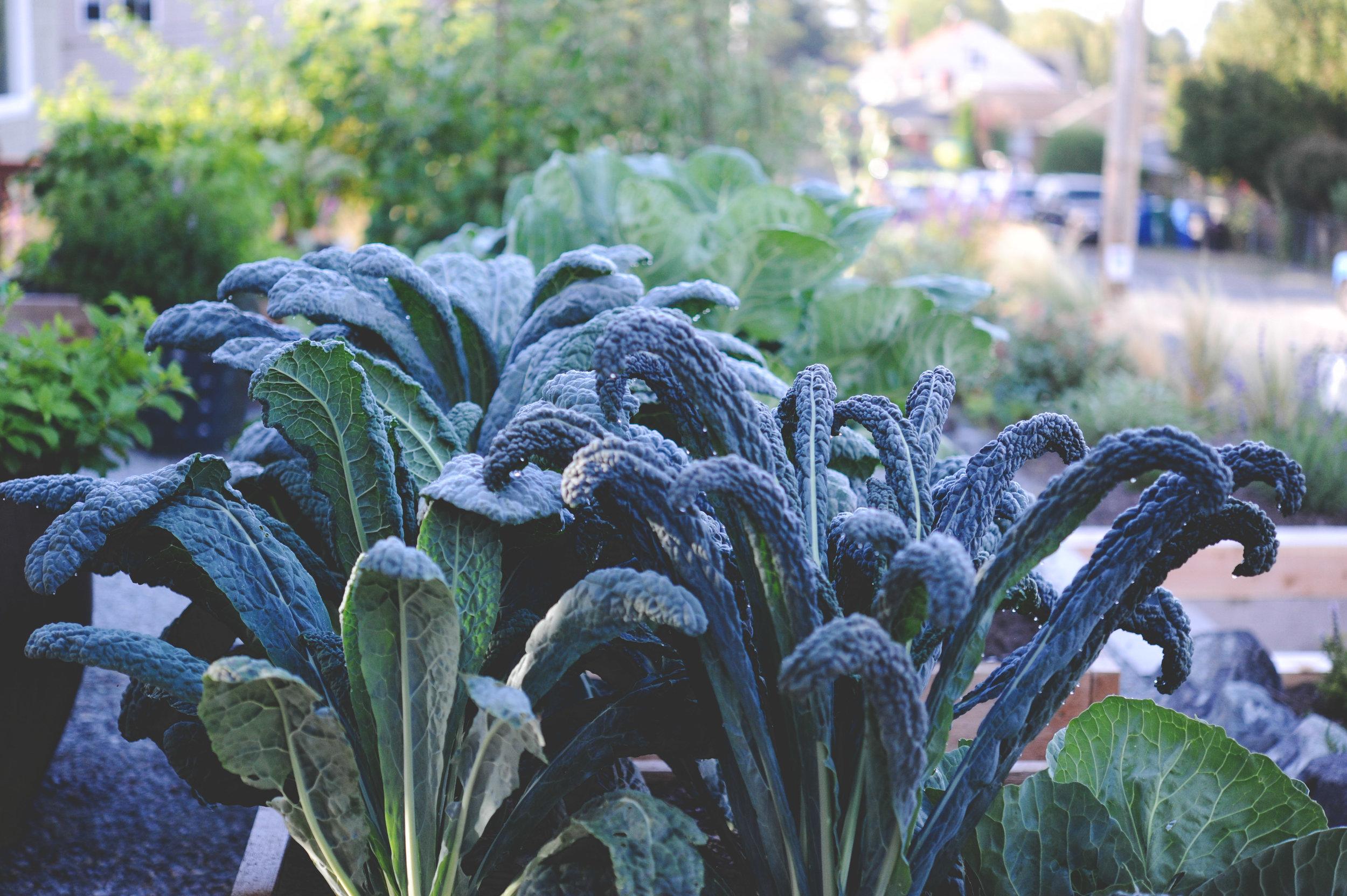 Kale_Seattle Urban Farm Co.