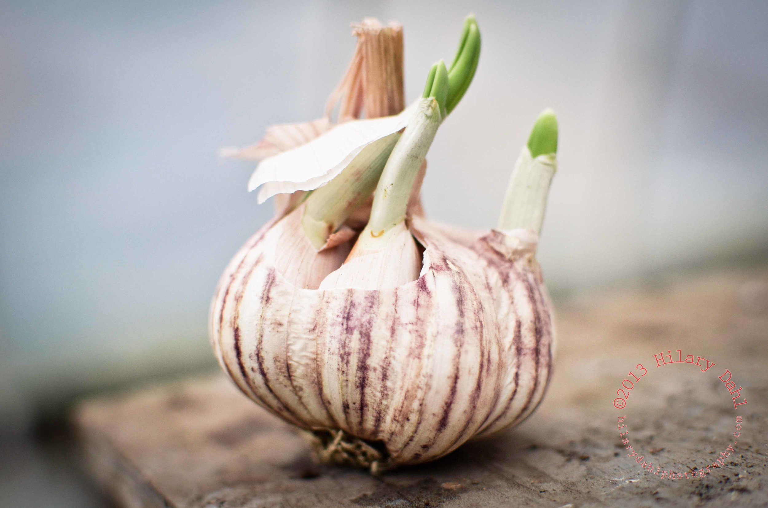 Sprouting garlic, ready to be planted