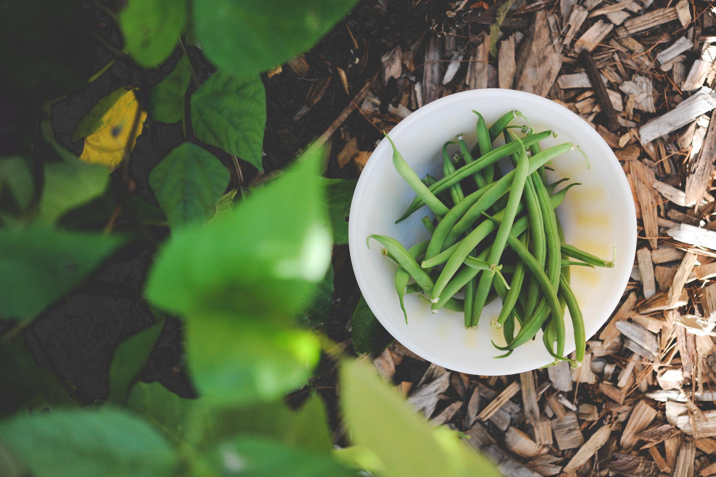 Beans_harvested.jpg
