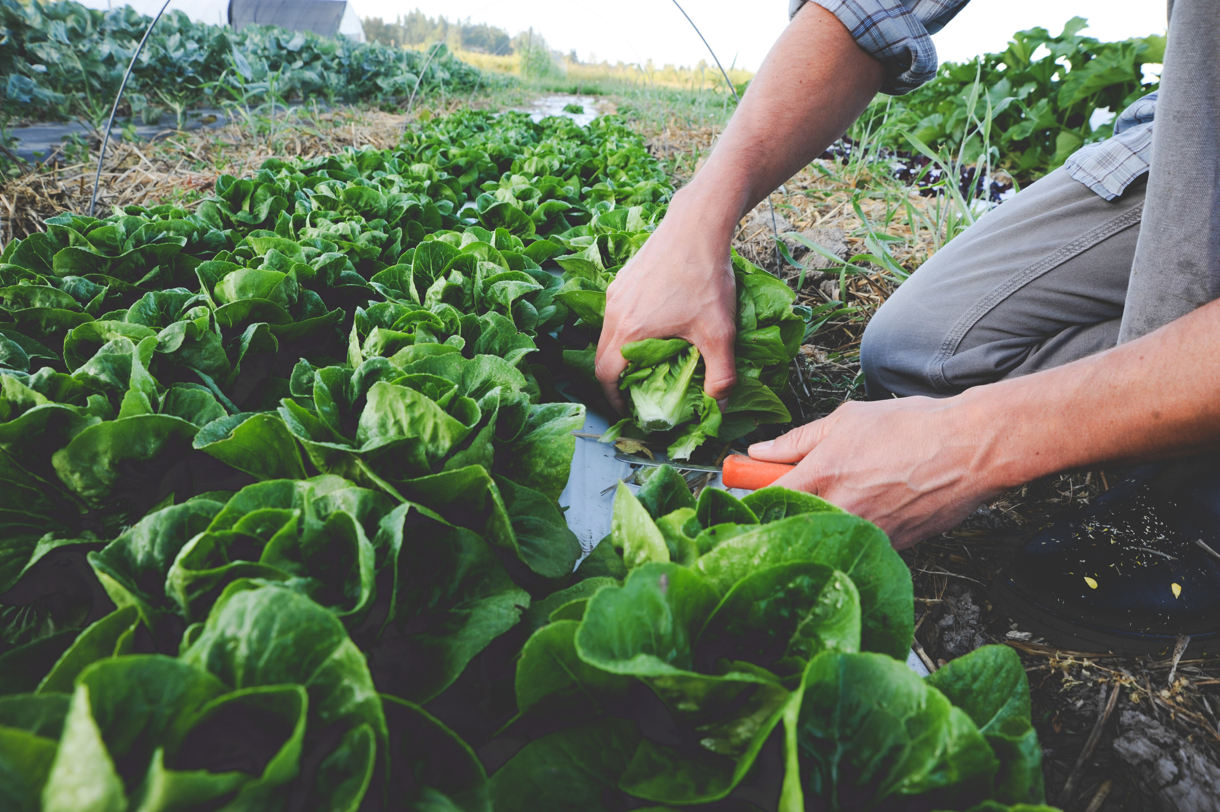 Warm Season Salad Greens_Seattle Urban Farm Co.