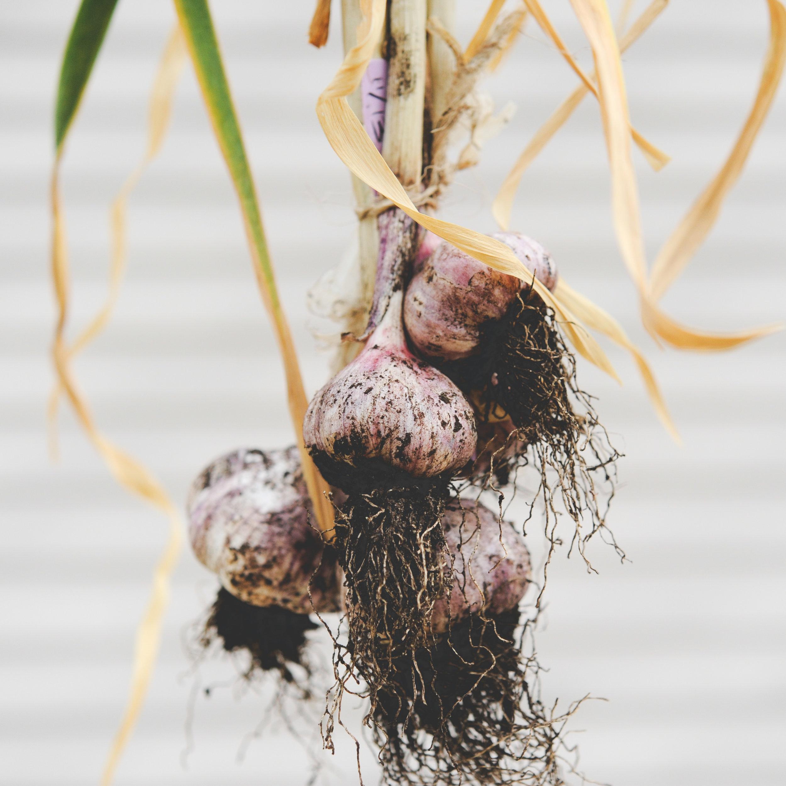 harvested Garlic_-3.jpg