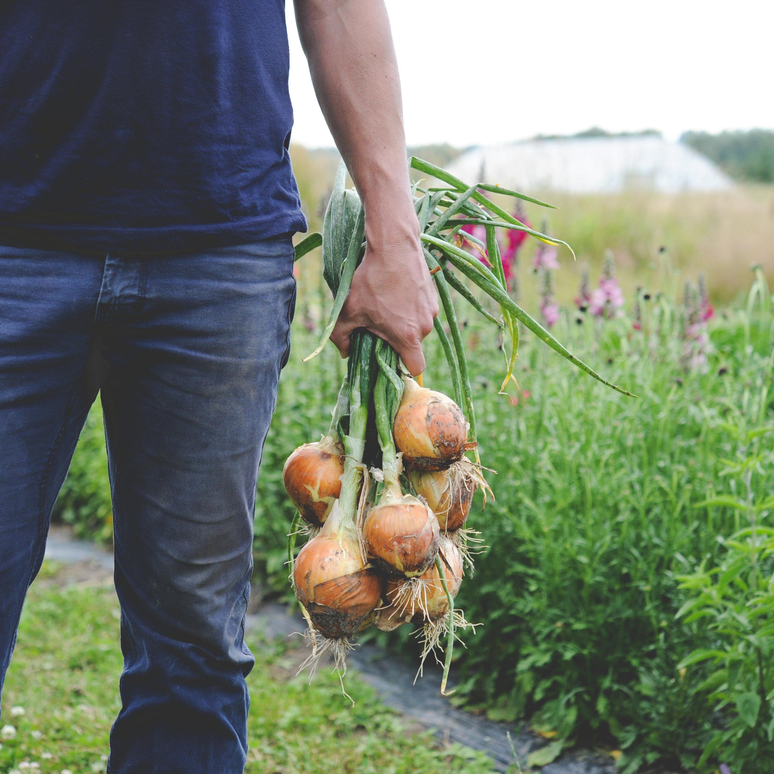 Storage Onions_Harvested.jpg