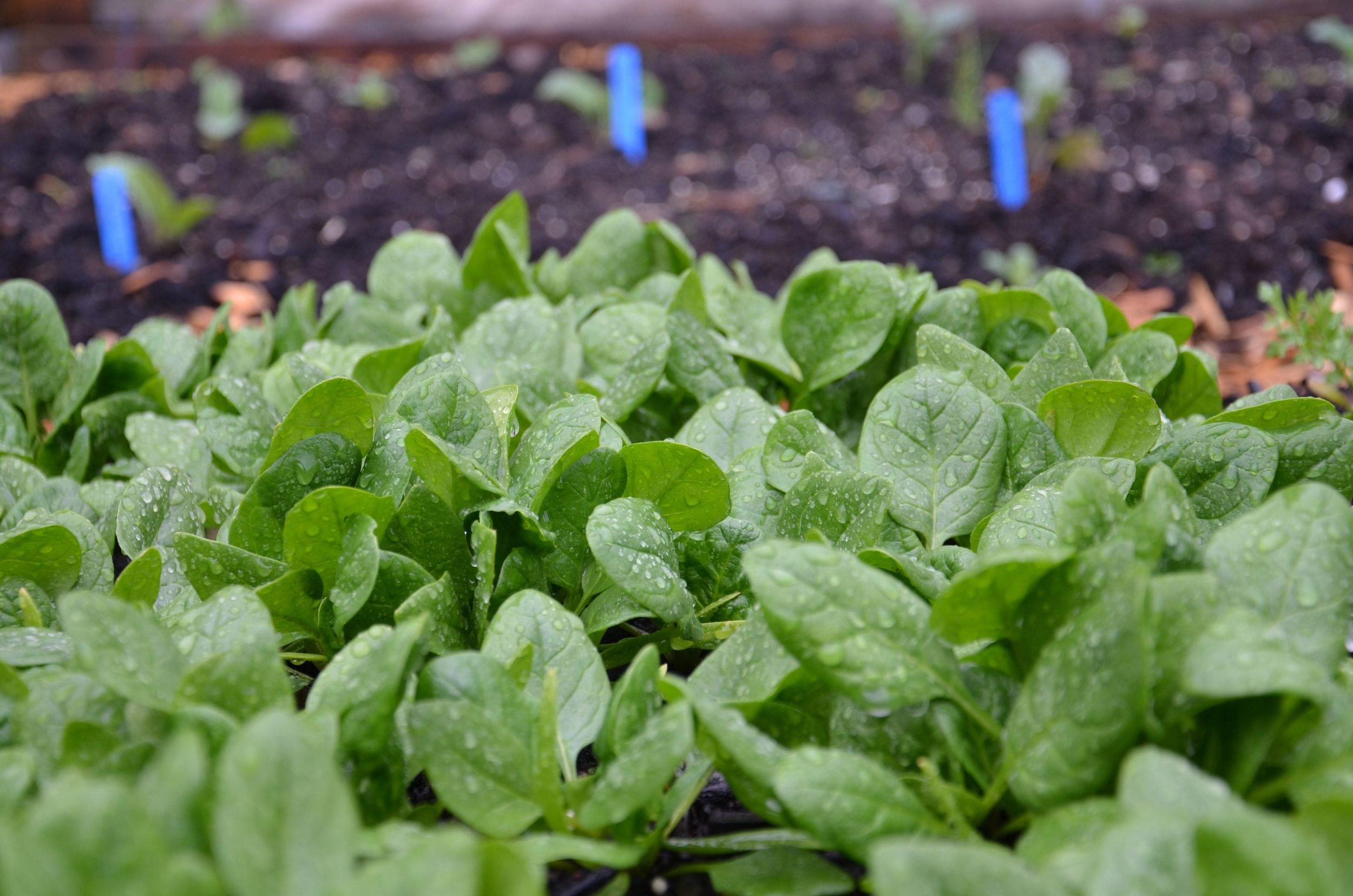 Spinach_Seattle Urban Farm Co.