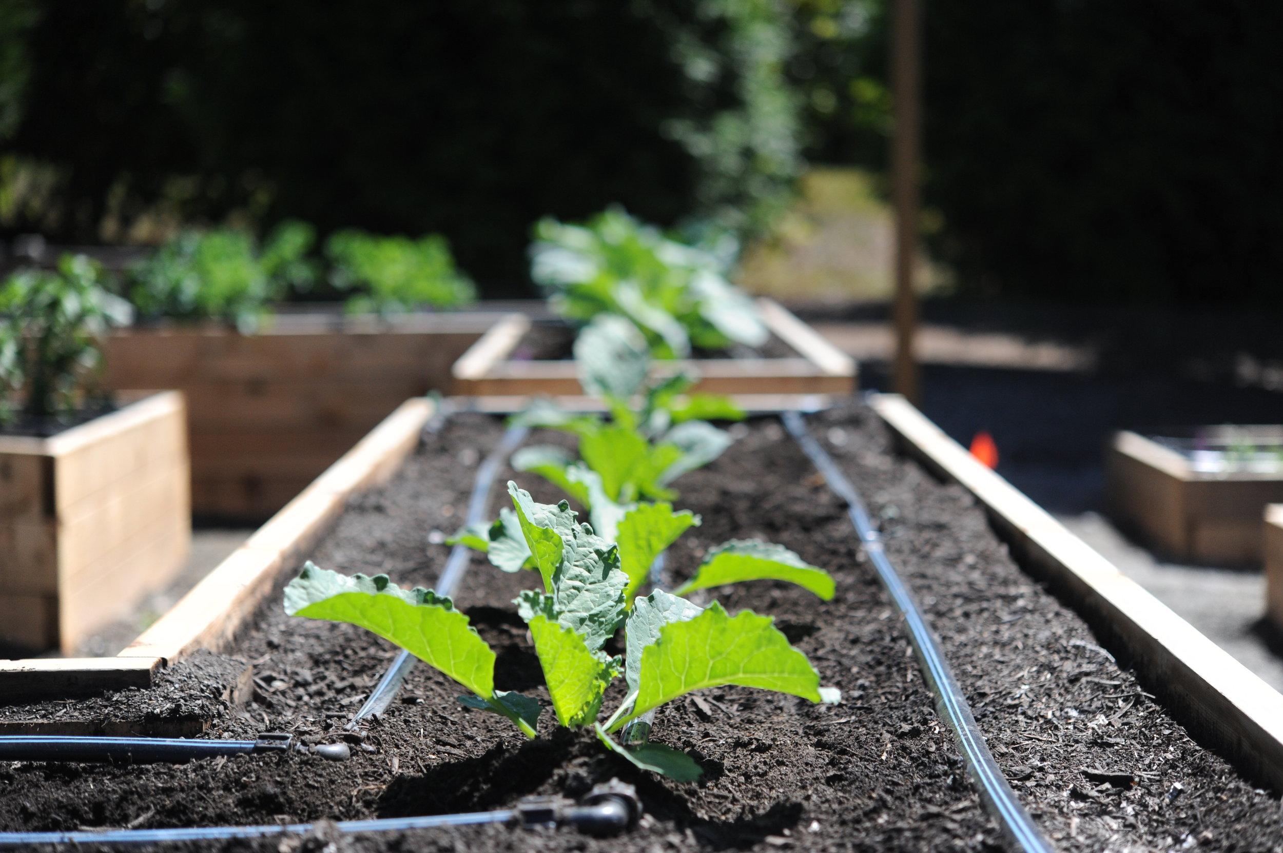 Drip Irrigation_Seattle Urban Farm Co_Encyclopedia Botanica