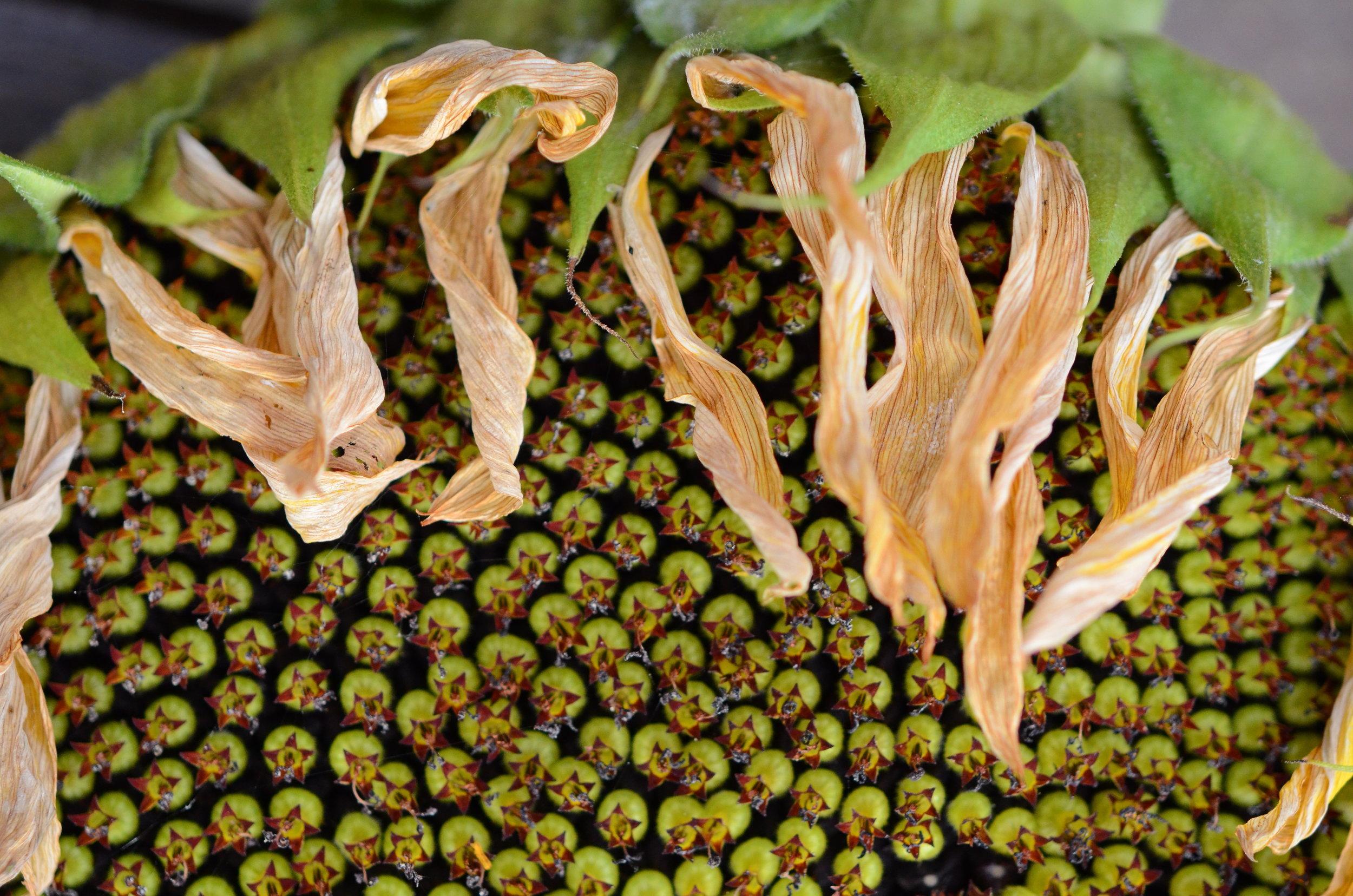 Sunflowers_Seattle Urban Farm Co._EBPodcast.jpg