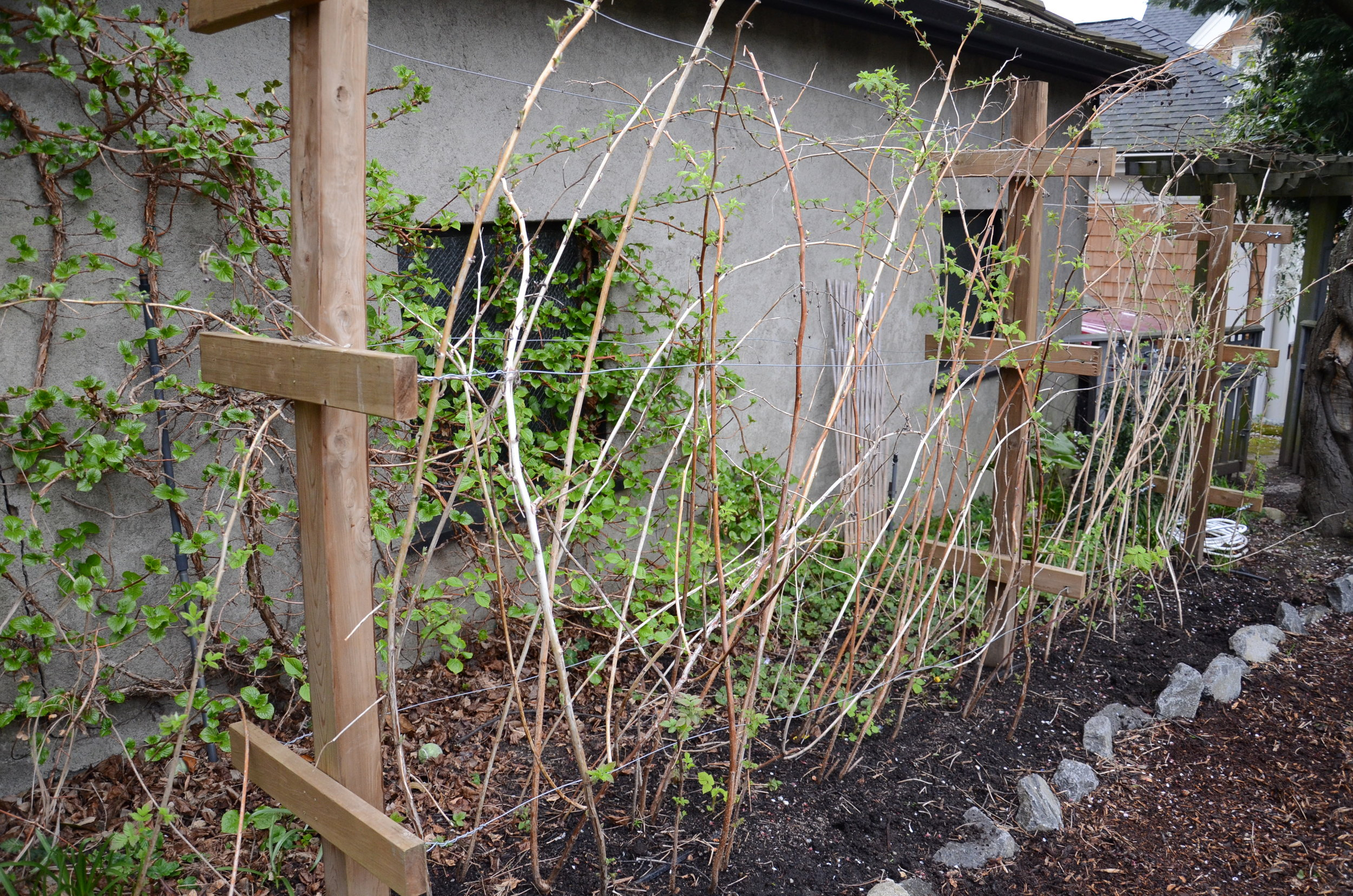 June bearing or Floricane raspberries pruned for winter