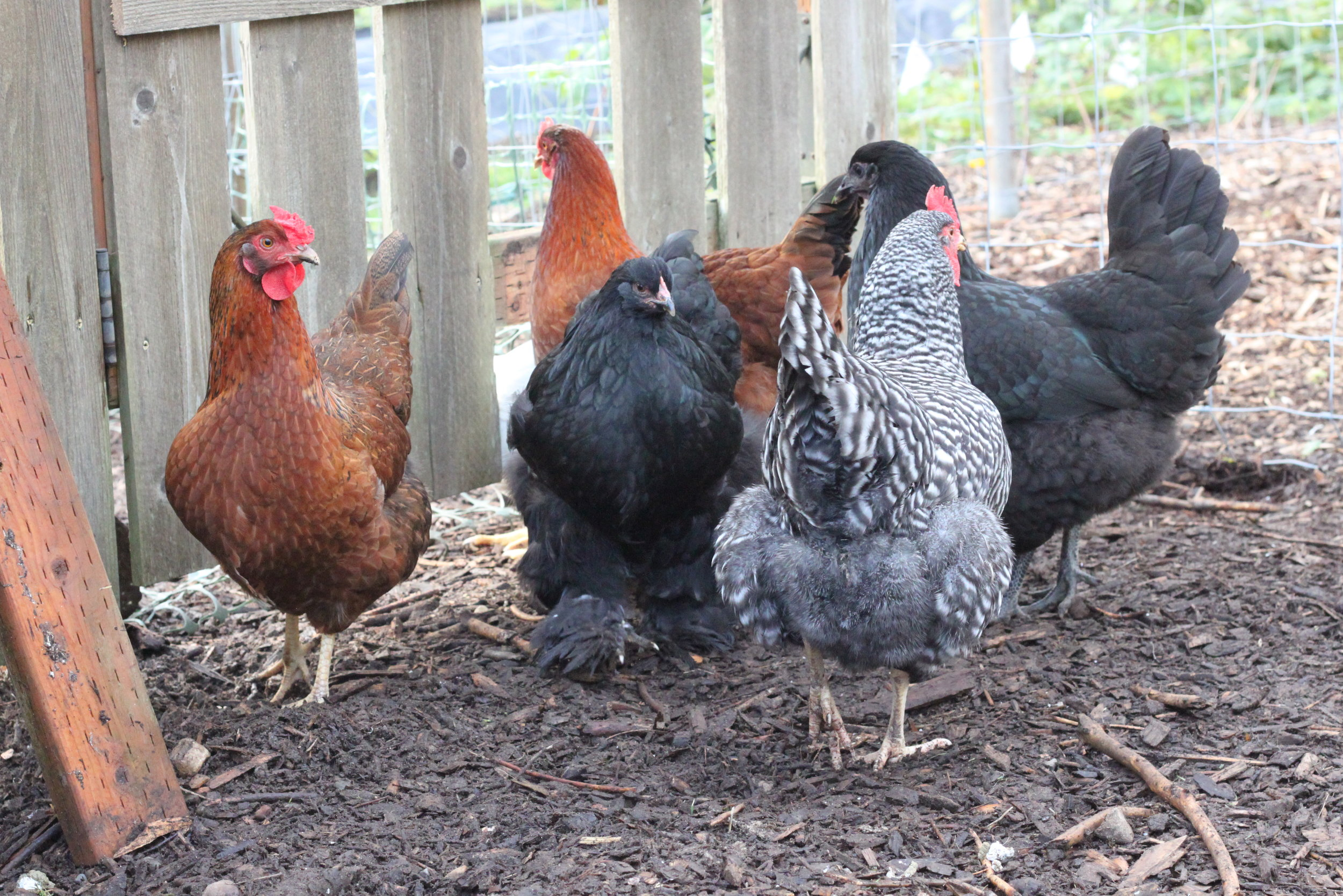 Australorp, Bard Rock, and Rhode Island Reds