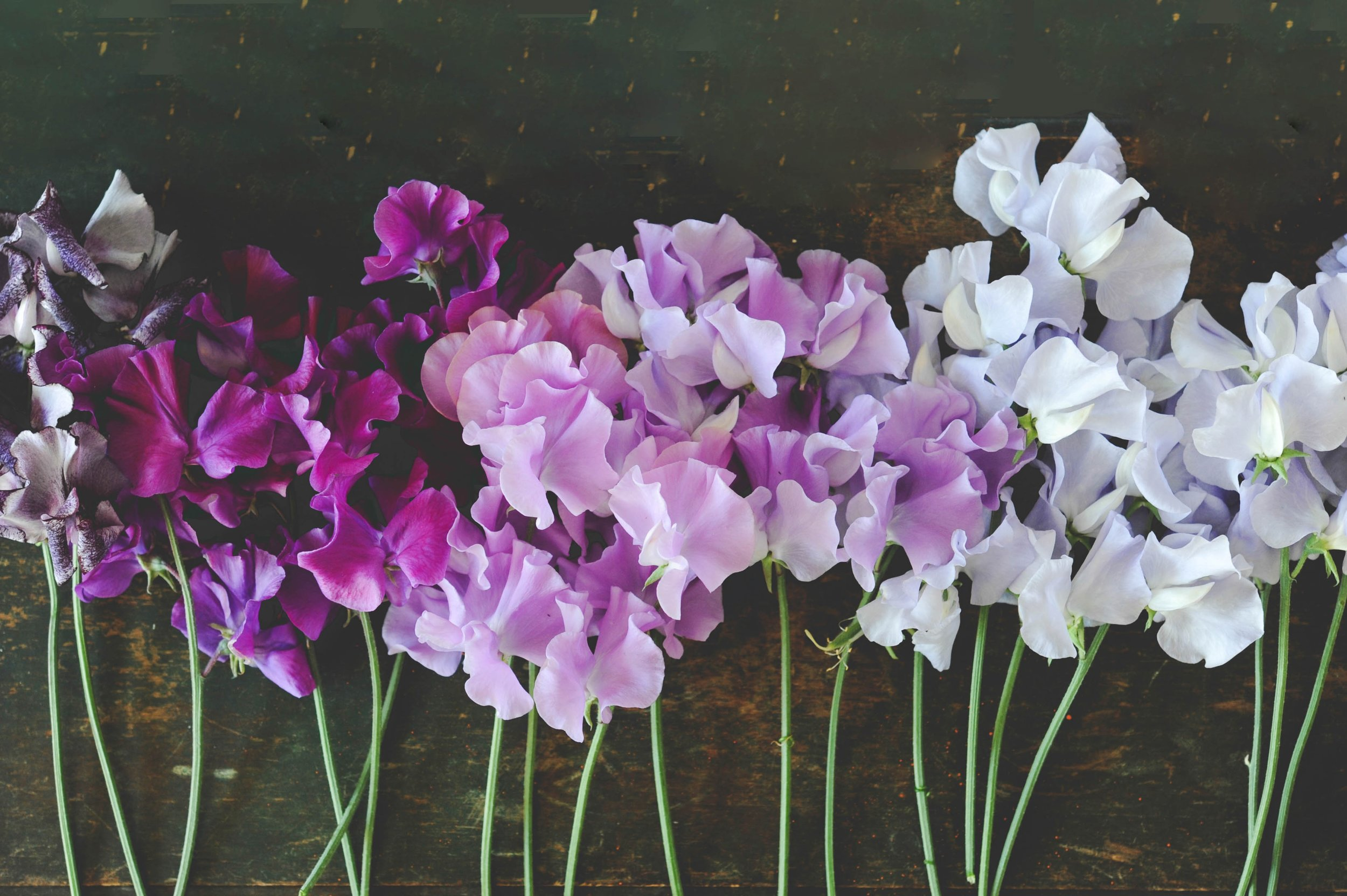 Sweet peas_Hilary Dahl_Encyclopedia Botanica.jpg