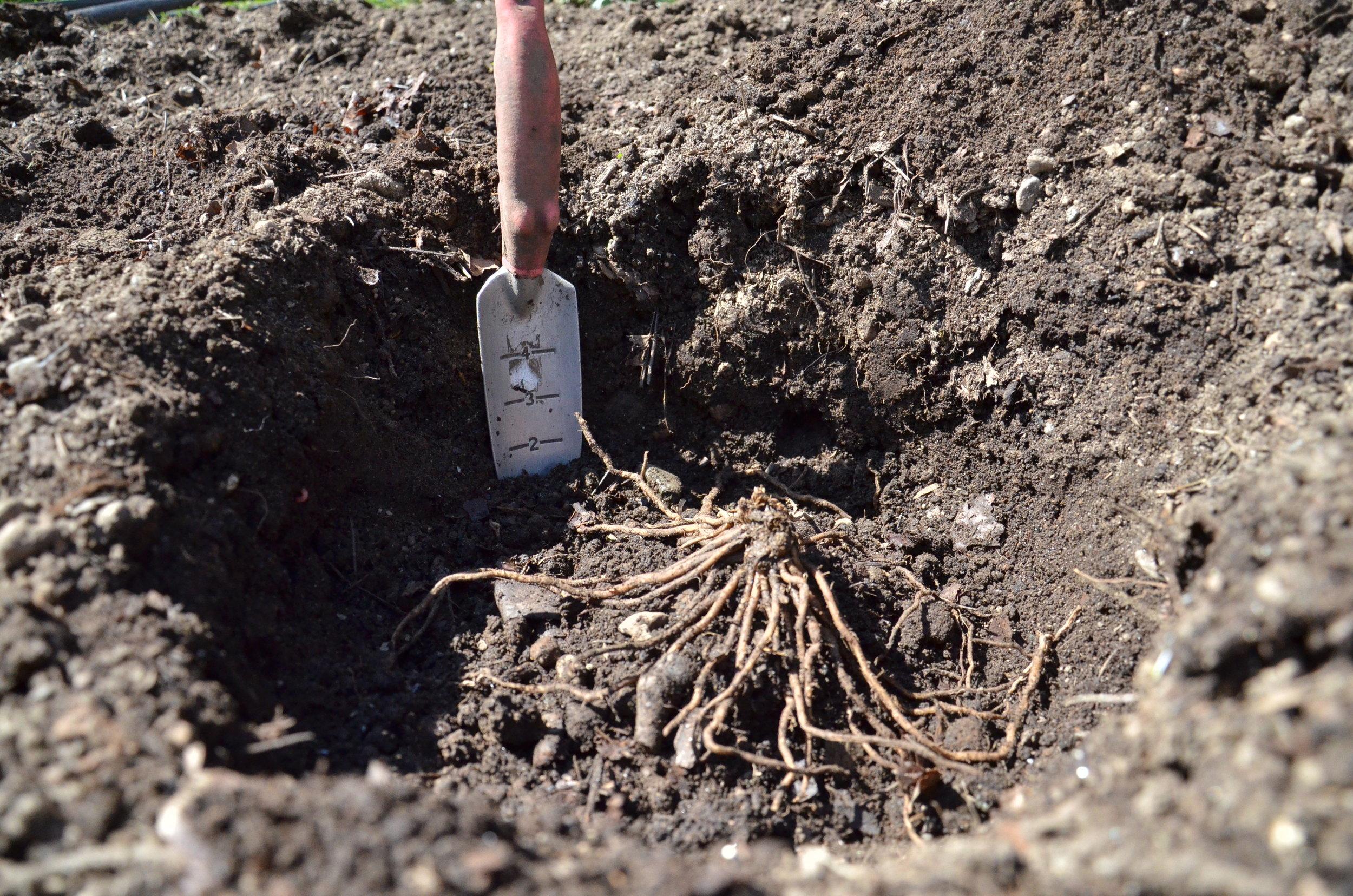 Planting asparagus_Seattle Urban Farm Co._Encyclopedia Botanica