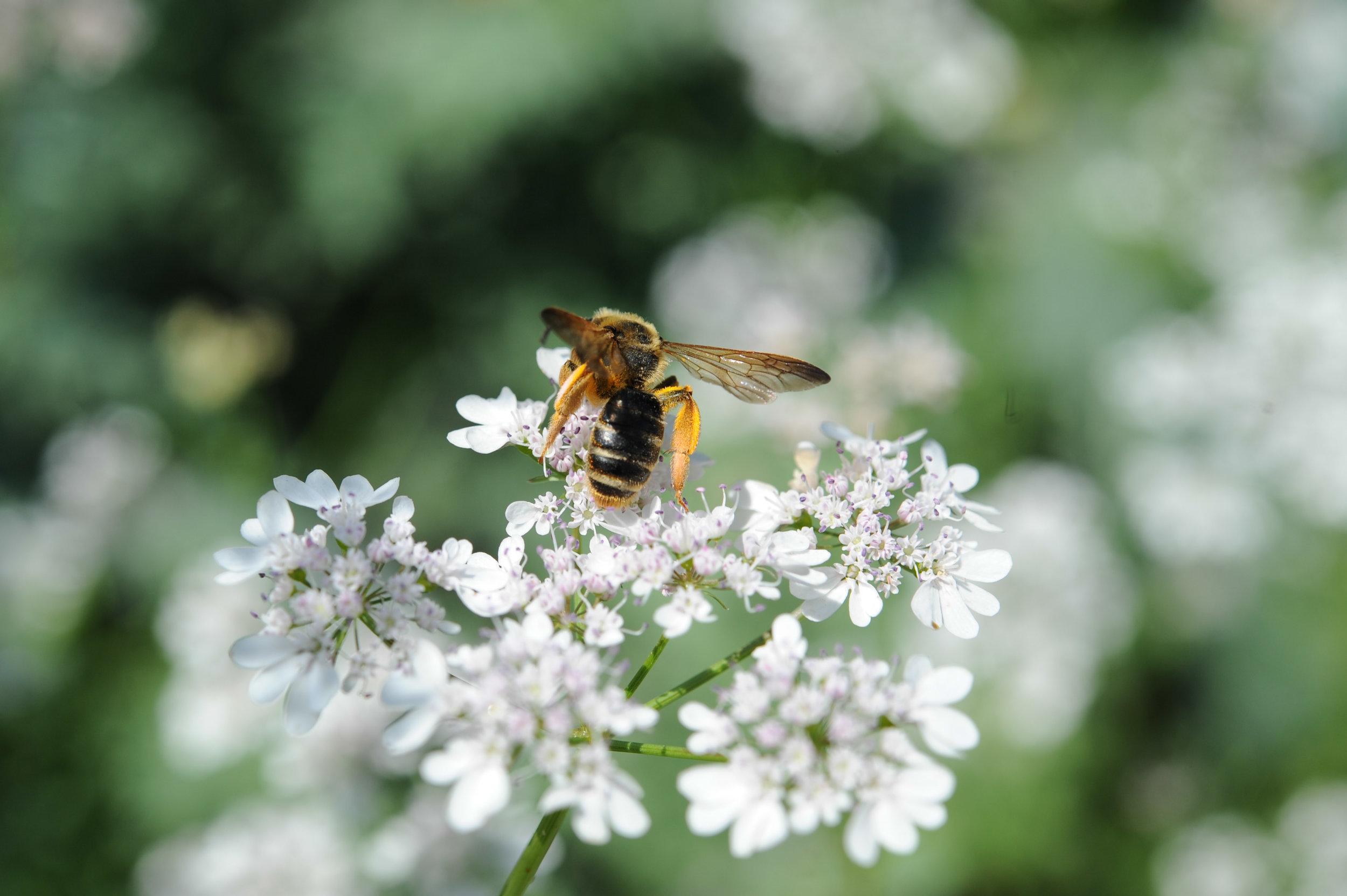 Bee on flowering cilantro_Encyclopedia Botanica_Hilary Dahl.jpg