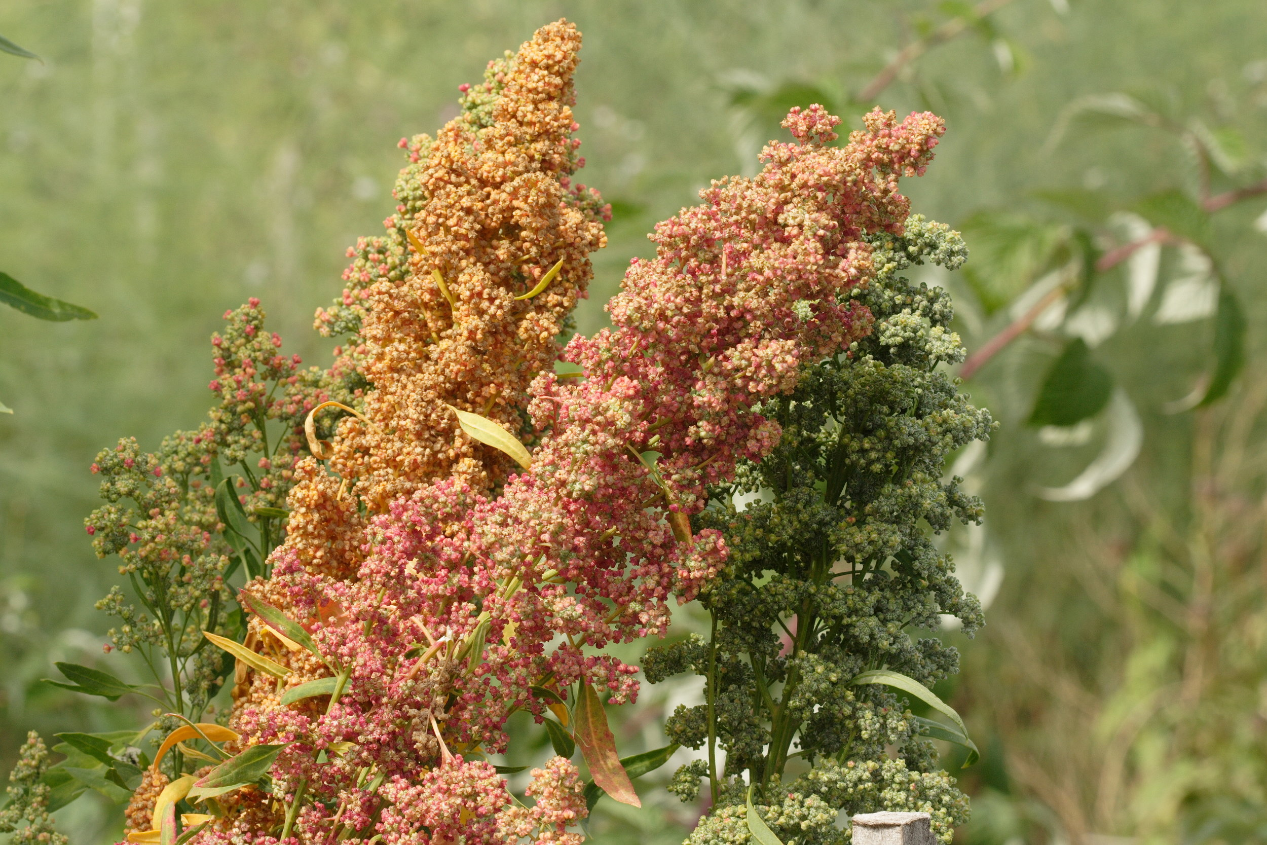 QN100_Brightest Brilliant Quinoa_IMG_2050.JPG