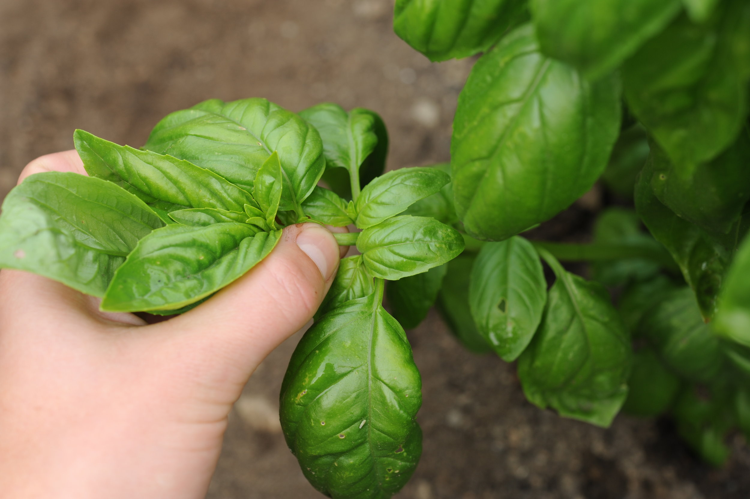 Pinching Basil_Seattle Urban Farm Co._Hilary Dahl.JPG