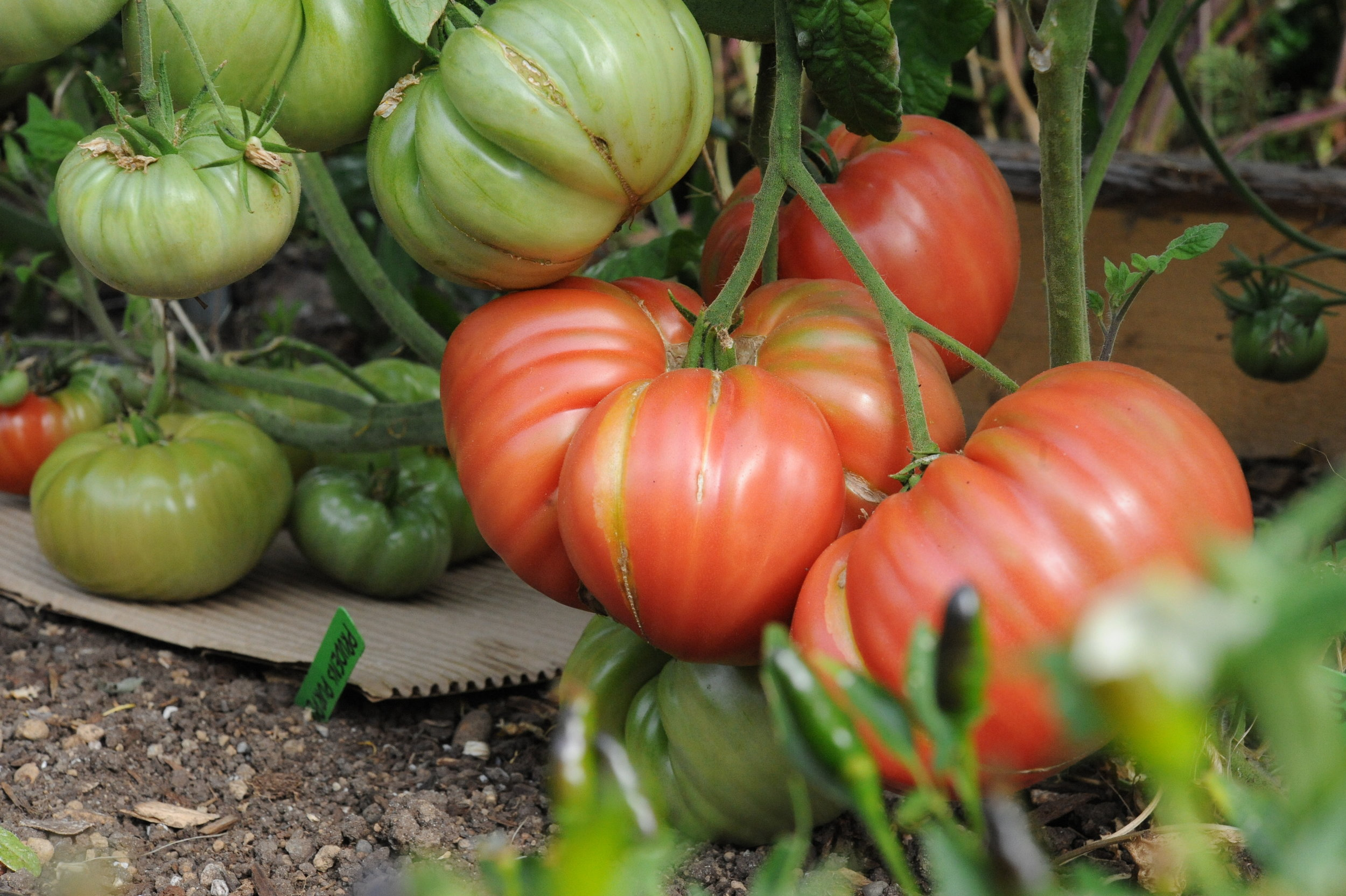 Tomatoes on cardboard_Hilary Dahl_Encyclopedia Botanica.JPG