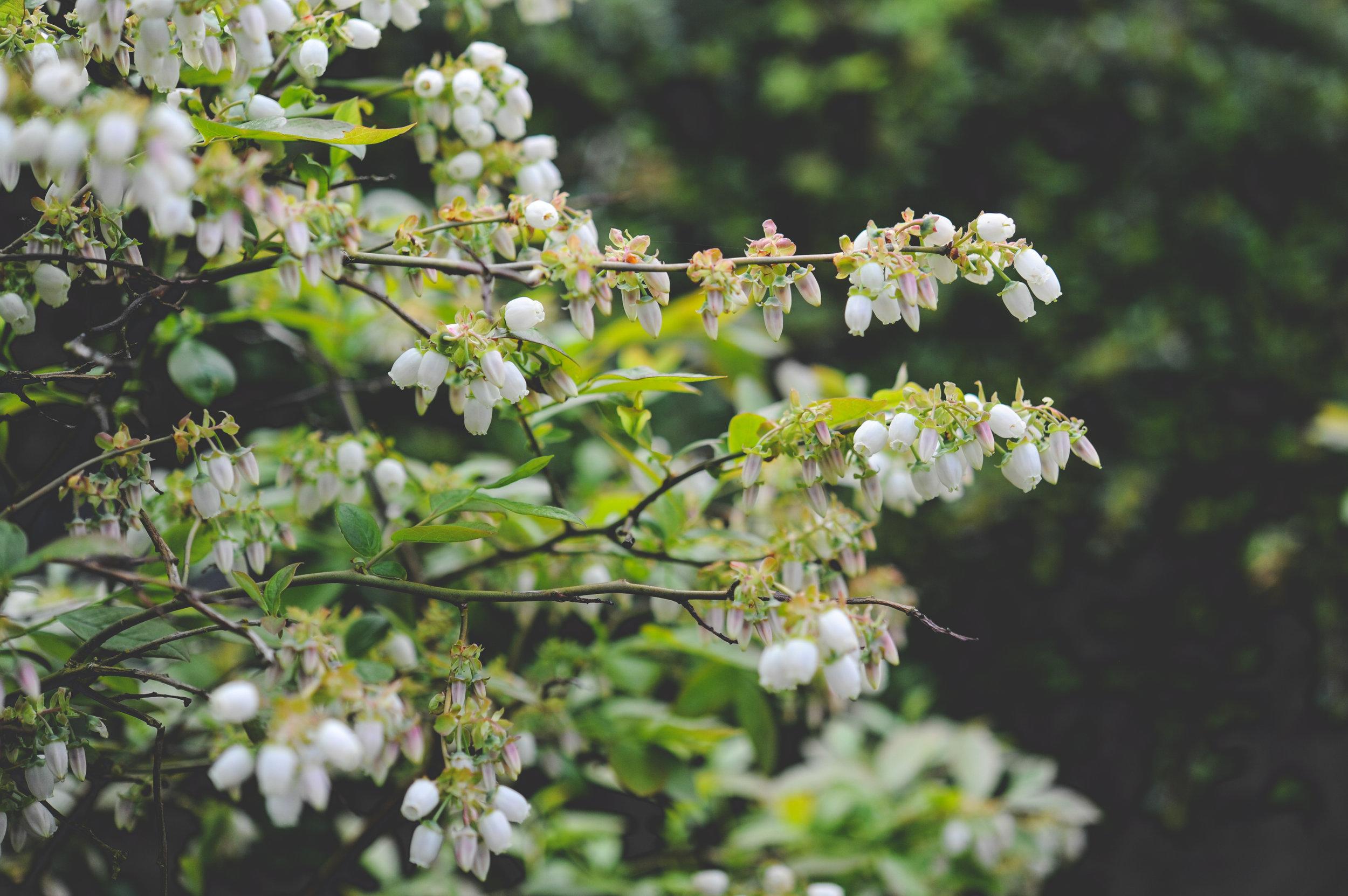 Blueberry flowers_Hilary Dahl_Seattle Urban Farm CO..jpg