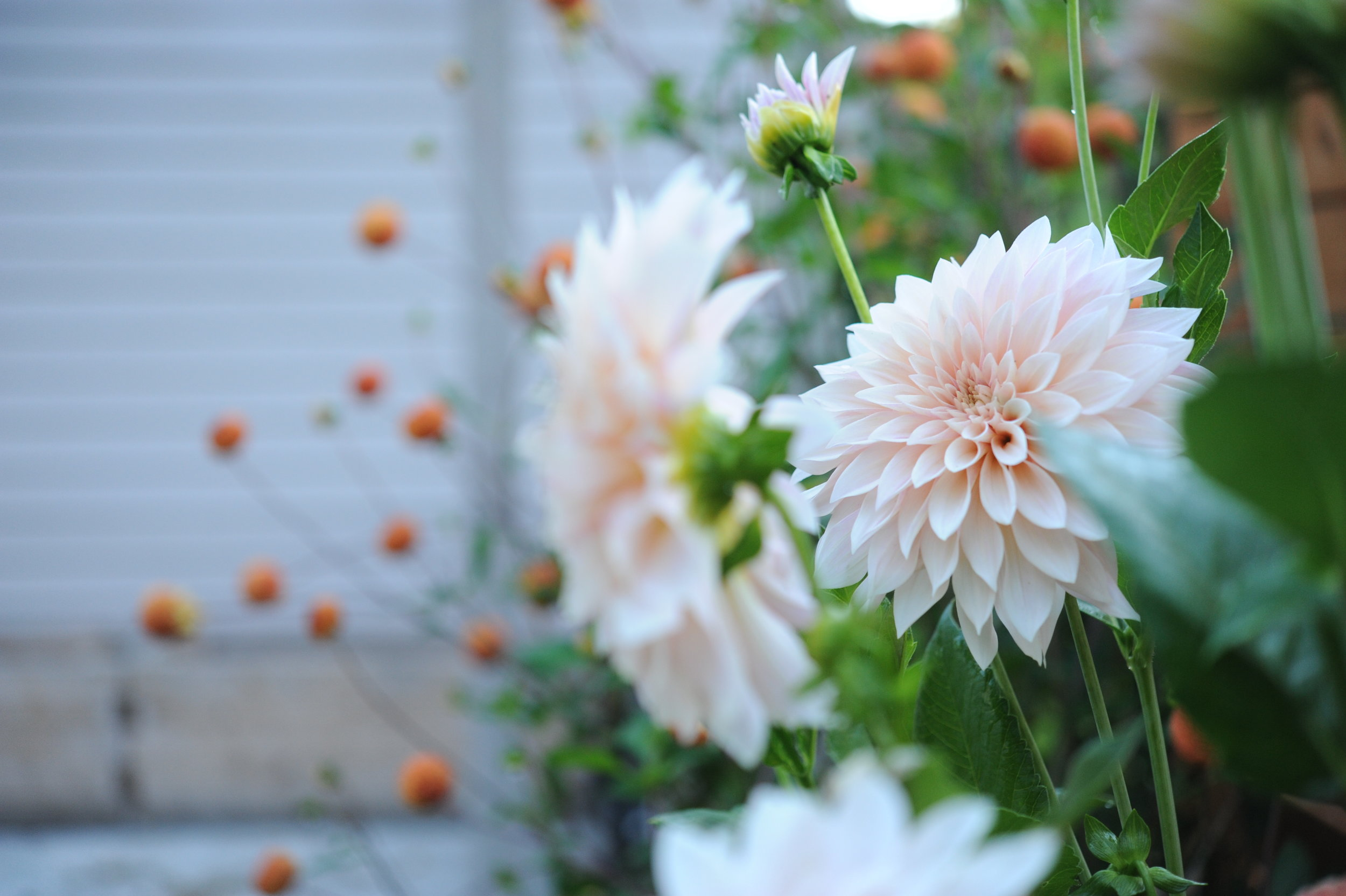 Episode 75 Growing Dahlias With Nick Gitts Seattle Urban Farm