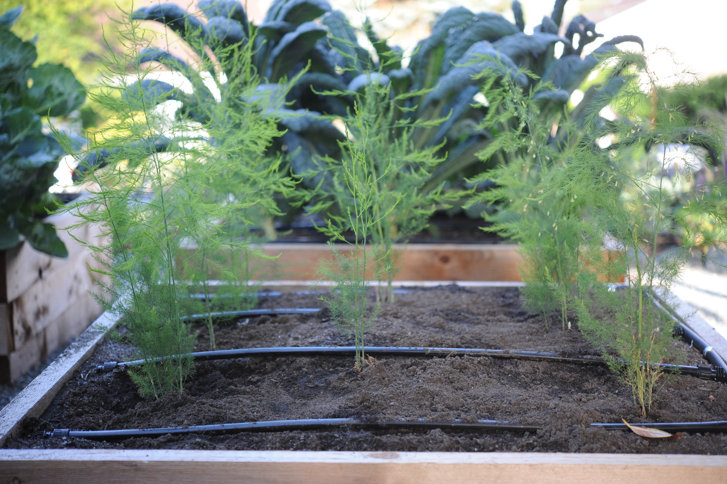 First year asparagus growth