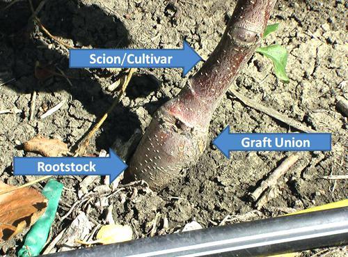 Fruit tree graft