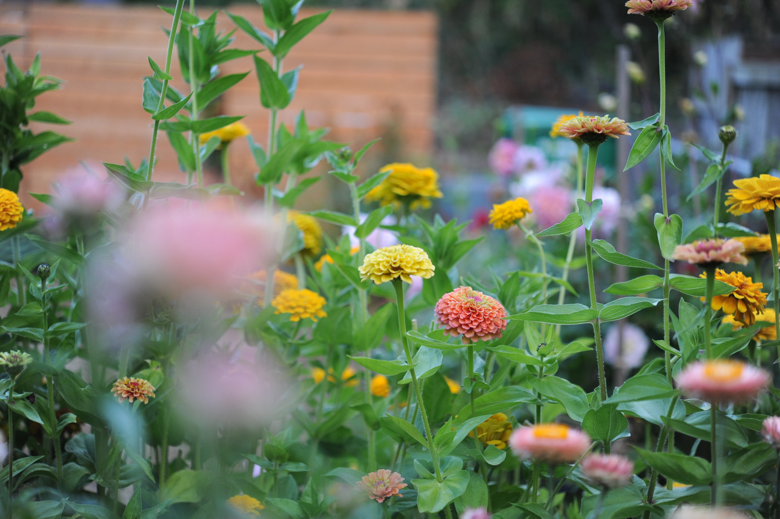 Zinnias in Hilary's 2018 Cutting Garden