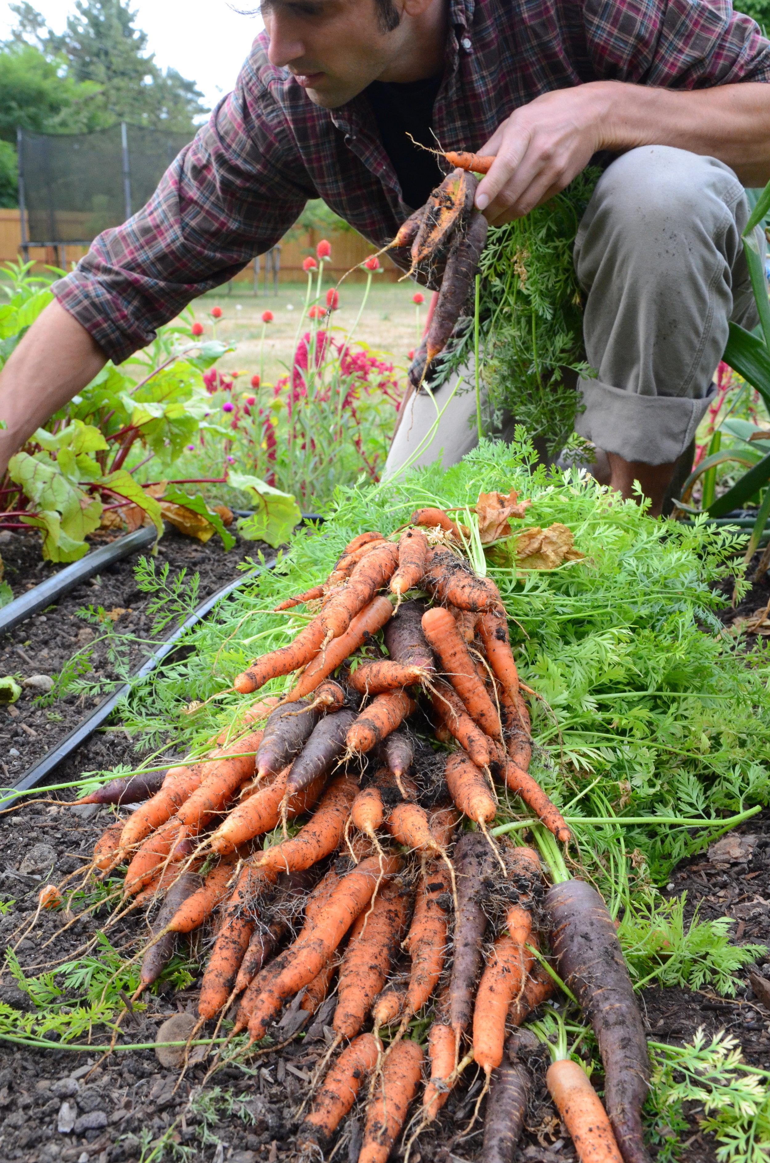 Scarlet Nantes and Purple Haze carrots
