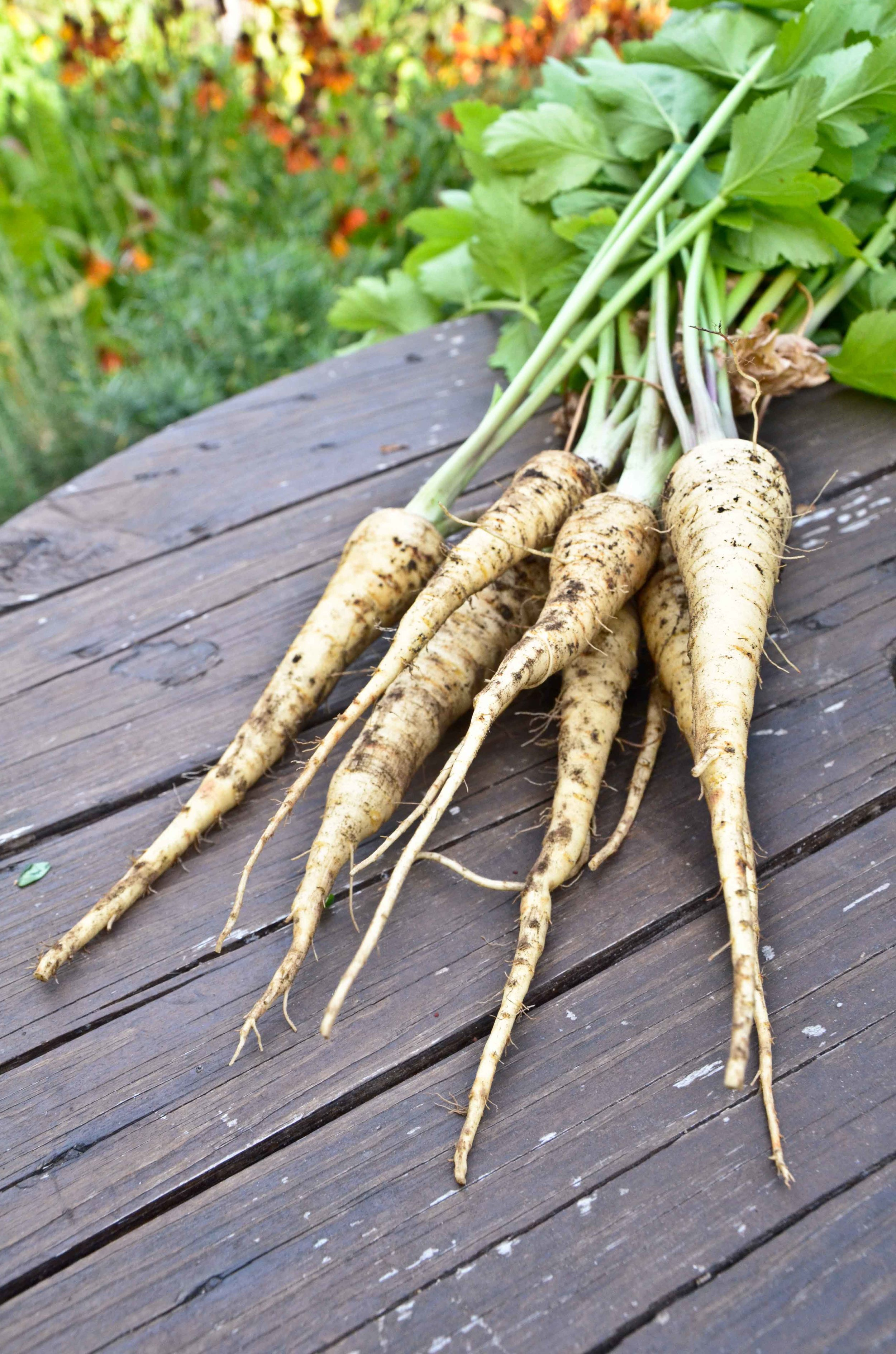 Harvested Parsnips