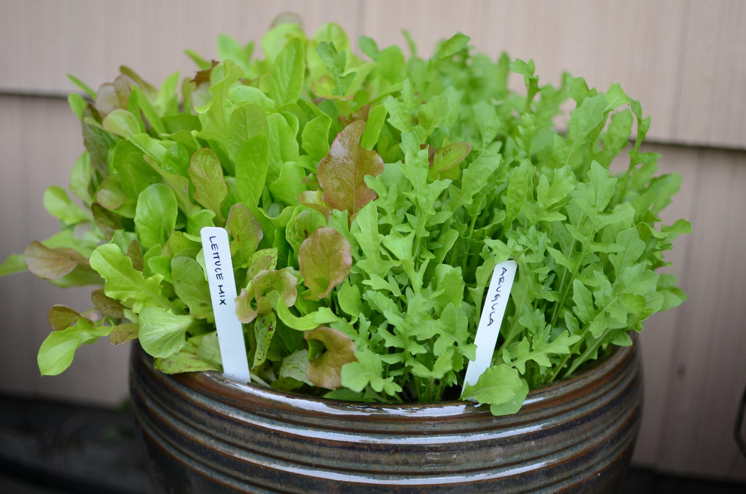 Salad Greens in a pot
