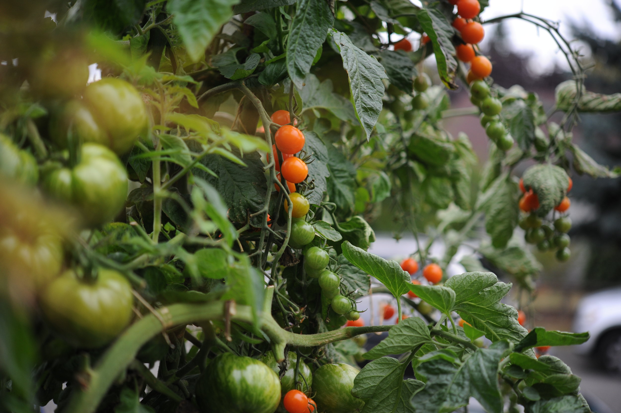 Sungold cherry tomatoes ripening on the vine.