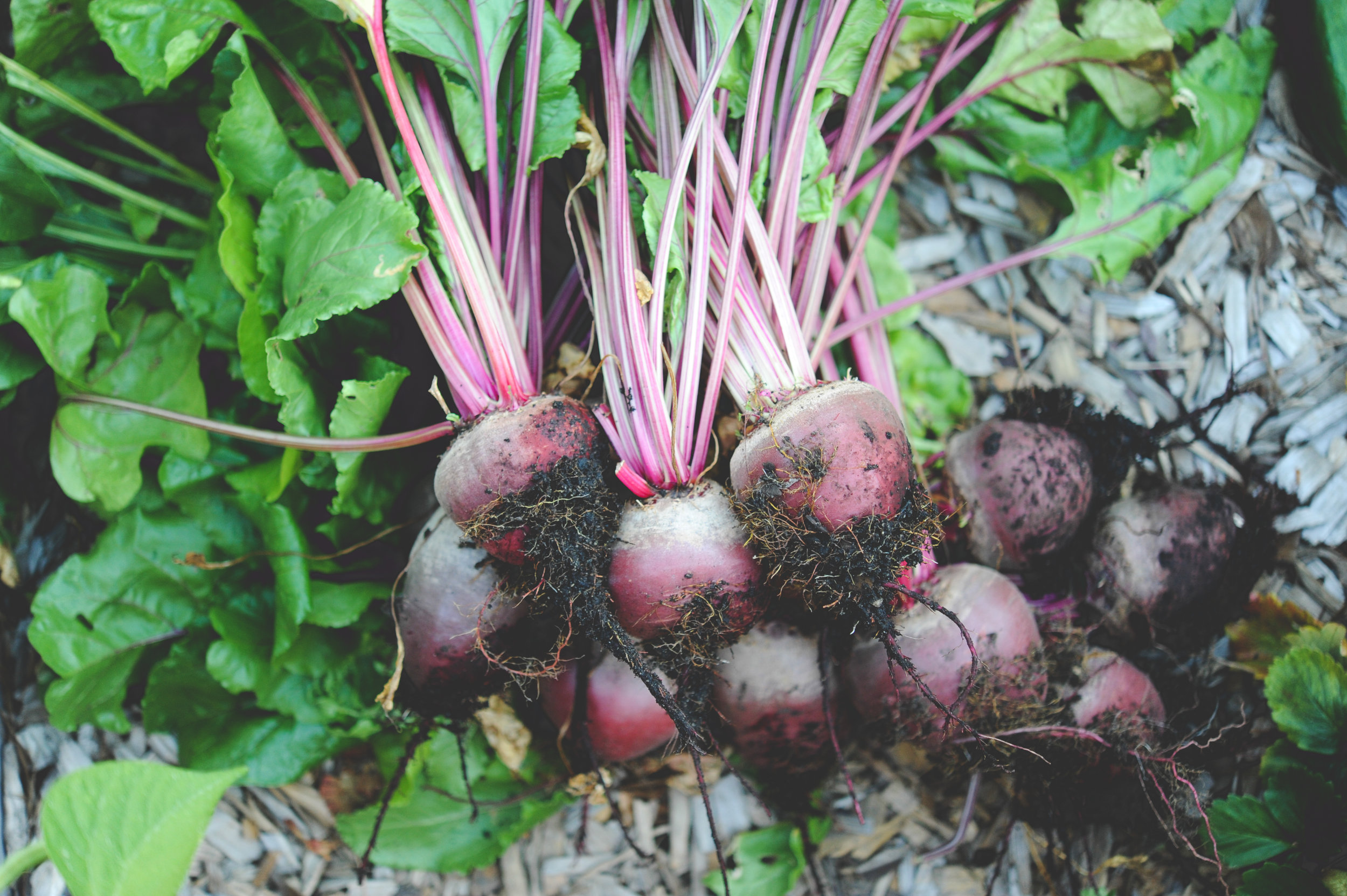 Harvested Early Wonder Beets