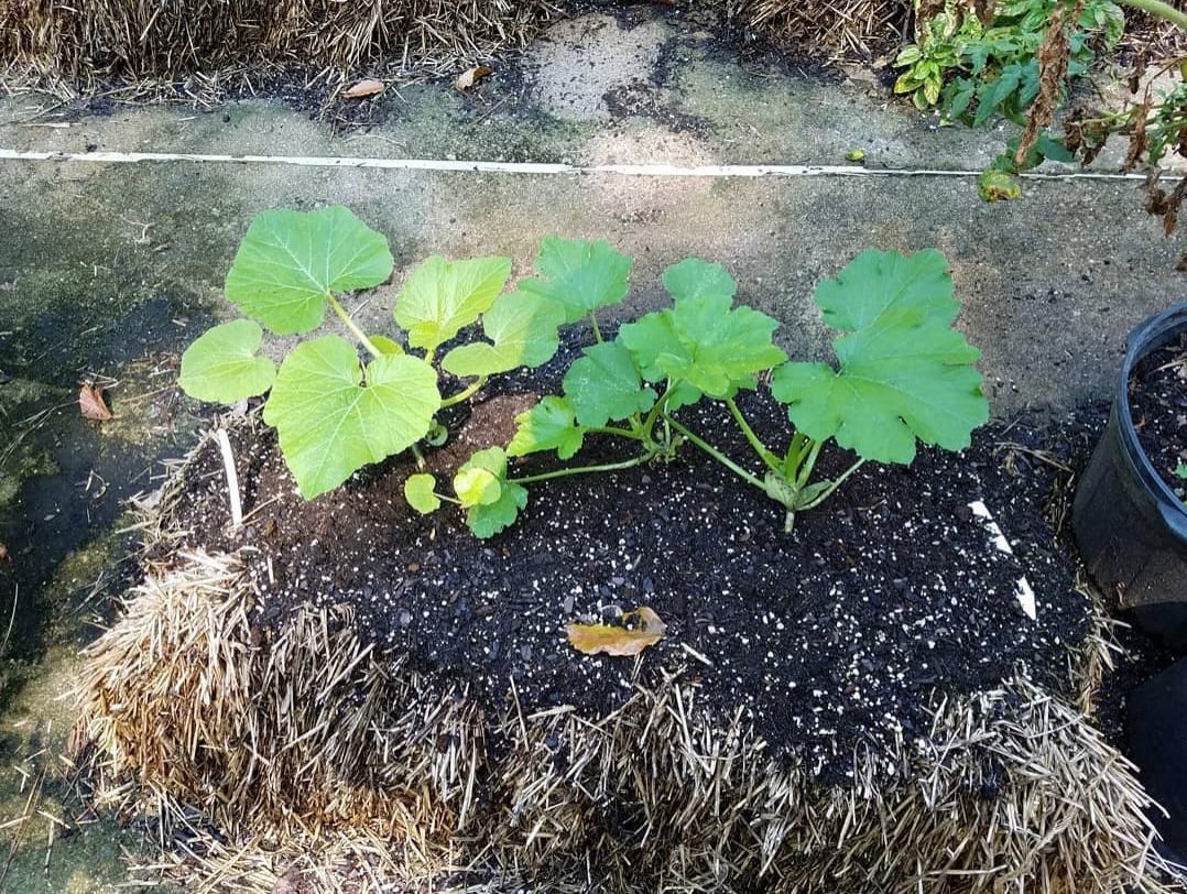 Zucchini in Straw Bales