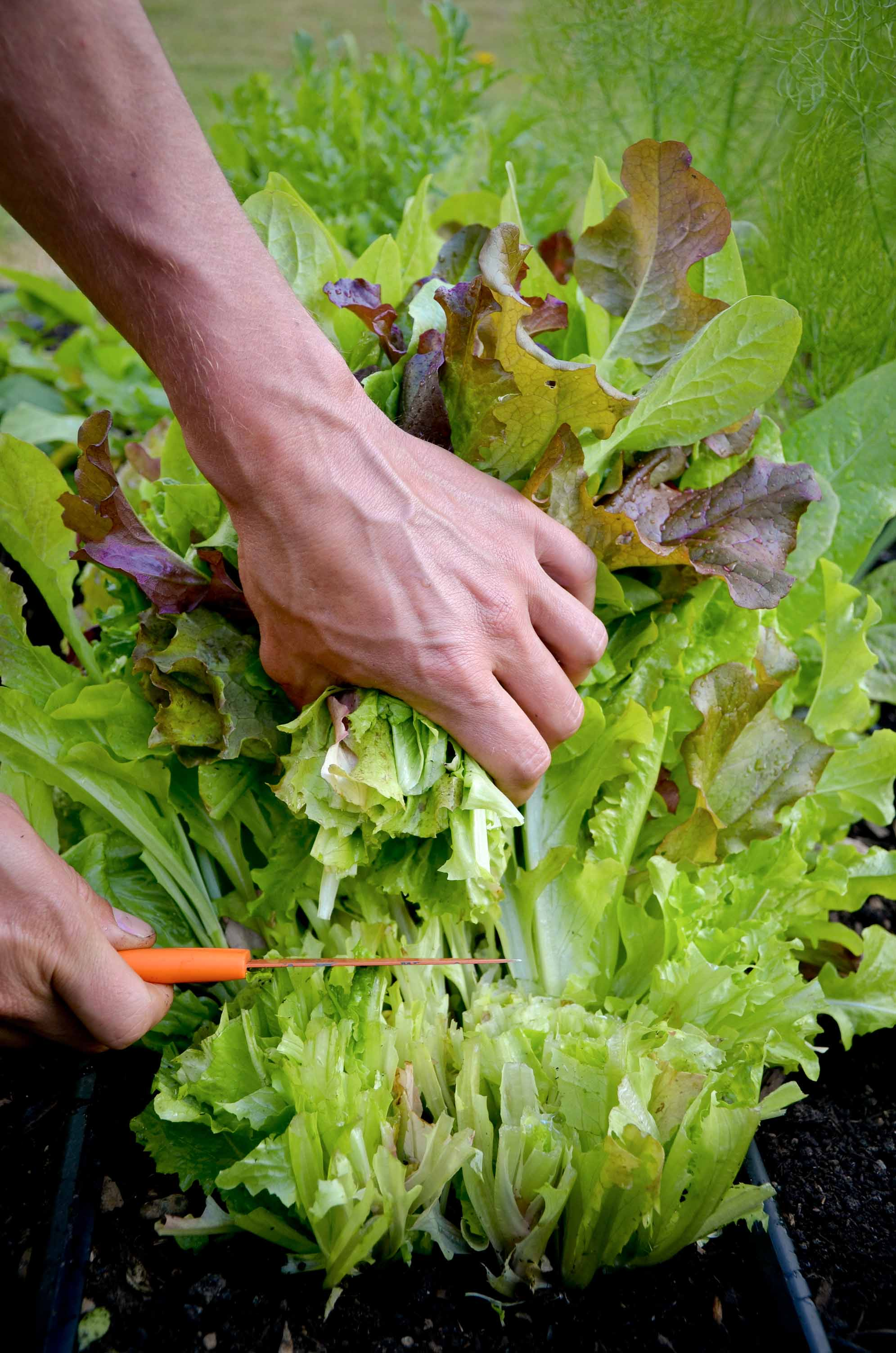 Salad Greens_Harvesting lettuce mix.jpg