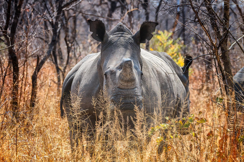 Rhino at Matobo National Park | 176mm | 1/400th | f6.3 | ISO200