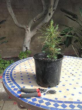 pinus Brutia Lone PIne Tree 3 year old