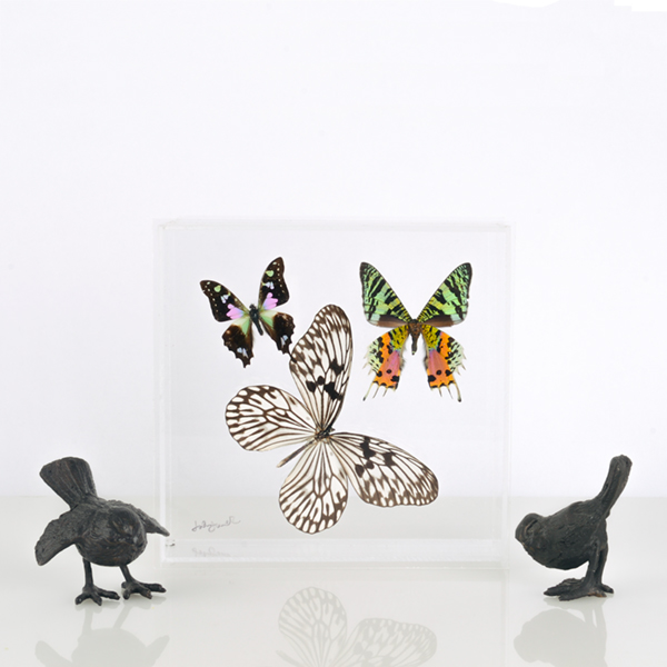 Butterfly specimens in lucite. More information    here   .