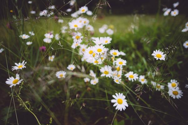 daisy field_600.jpg