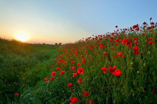 poppies_600.jpg