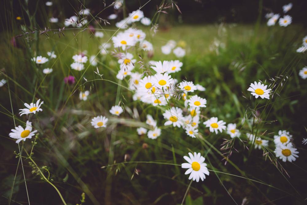 daisies_1000.jpg
