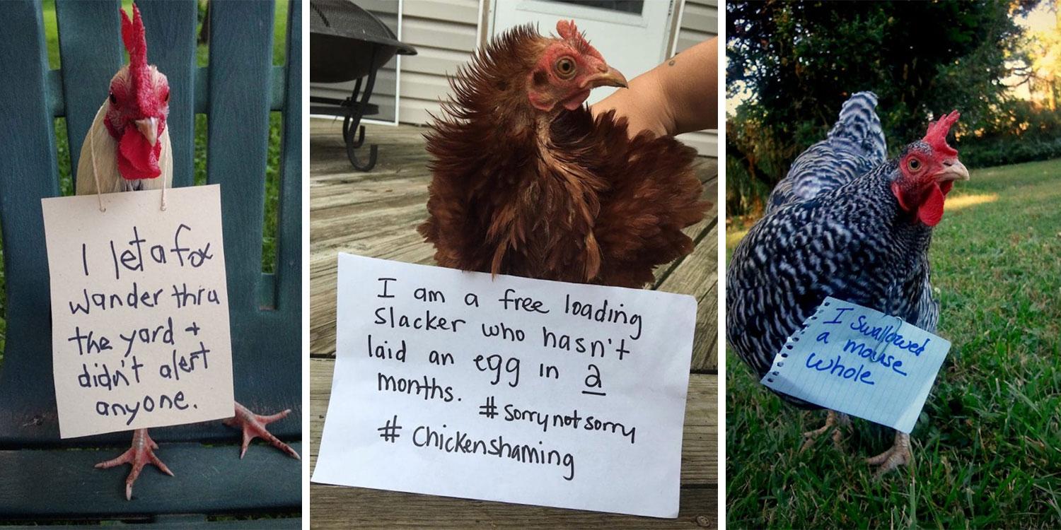 Chicken-Shaming.jpg