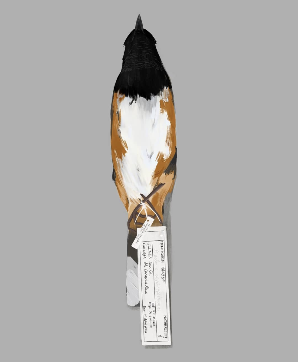 Towhee.png