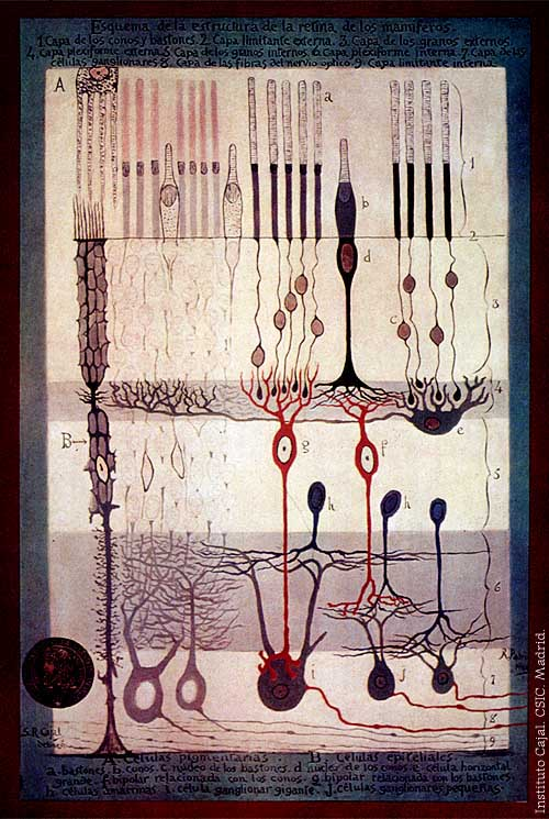 """One of Santiago Ramon y Cajal's famously precise drawings of neurons.From """"Structure of the Mammalian Retina"""" Madrid, 1900."""