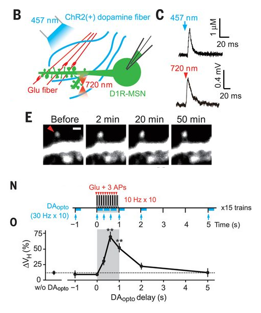Figure 3. Panels taken from figure 1 of Yagishita et al., 2014. B) Experimental setup. Two-photon glutamate uncaging with a 720 nm laser (red). Optogenetically-induced dopamine release with a 457 nm laser (blue). D1R MSNs are patched and filled with Alexa488 (green). C) Each laser induces intended stimulus. E) Spine growth happens on the order of minutes, and persists for a long time (50 minutes). N) Dopamine release (blue bars/arrows) is paired at various time points with glutamatergic stimulation. O) The variable timing of dopamine release generates variable changes in spine size (ΔVH).