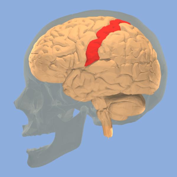 The somatosensory cortex. Source:  Wikipedia Commons