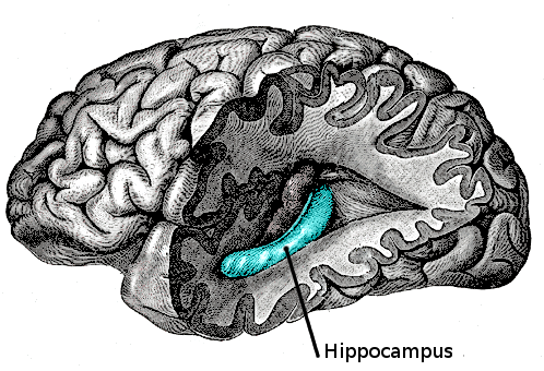 The Hippocampus located within the Human Brain. Adapted from Gray's Anatomy, Plate 739.Source:  Wikipedia Commons