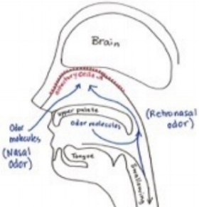 Fig. 2 Not all odors become smells. Nasal odors are interpreted as smell, odors inhaled through the throat are associated with taste. Photo courtesy of Amanda Greene.