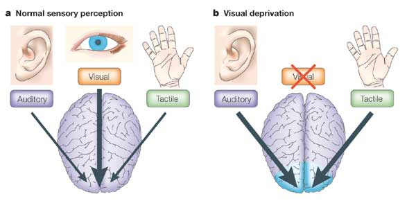 Fig. 1 In the absence of visual input, the visual cortex is used to process non-visual sensory information (Figure taken from Merabet et al., 2005).