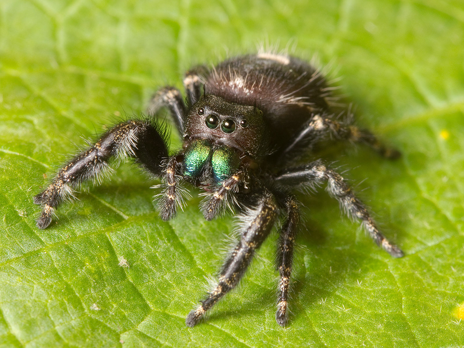 A  Phidippus audax  jumping spider in Nashville, Tennessee is ready to hear some sounds! Source: Wikimedia Commons.