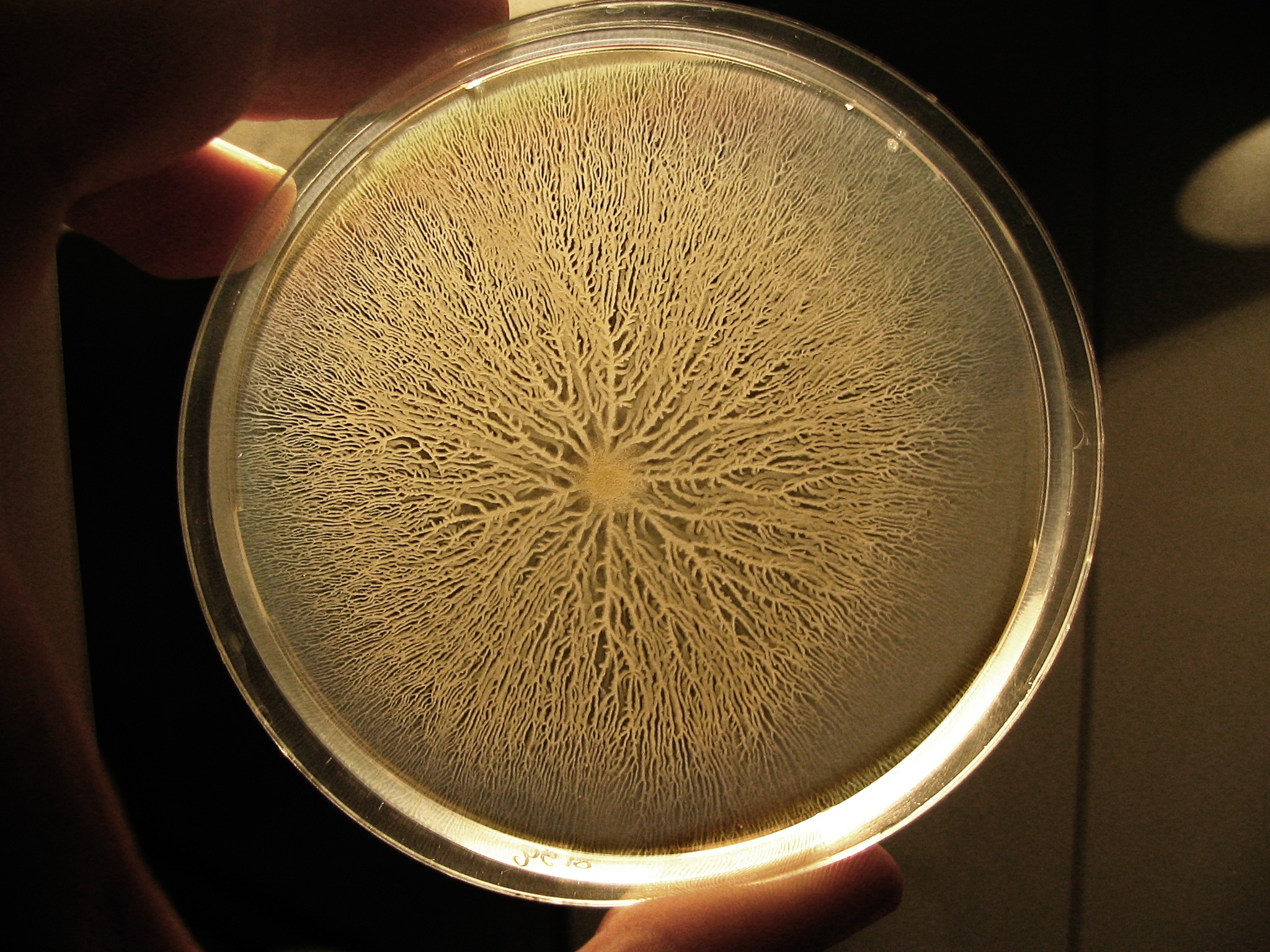 A swarm of   Bacillus subtilis  , whose electrical activity can force distant neighbors to join a biofilm. Image courtesy Wikimedia Commons.