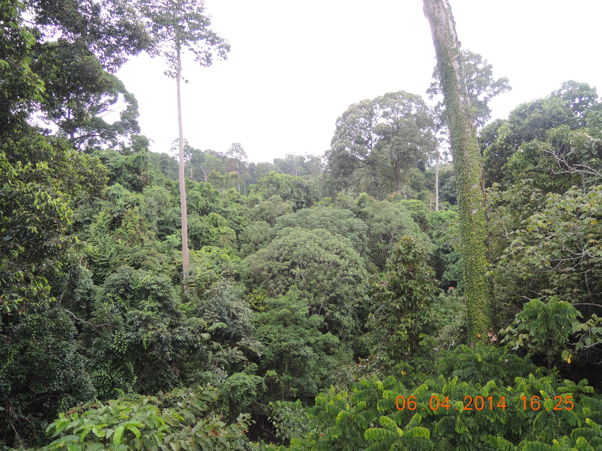 A view from an observation tower in the Sepilok Rain Forest