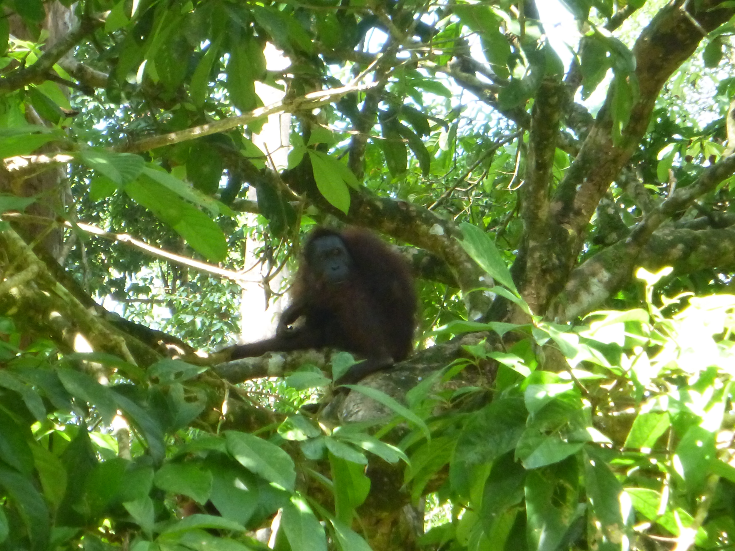 Orangutans are cute.